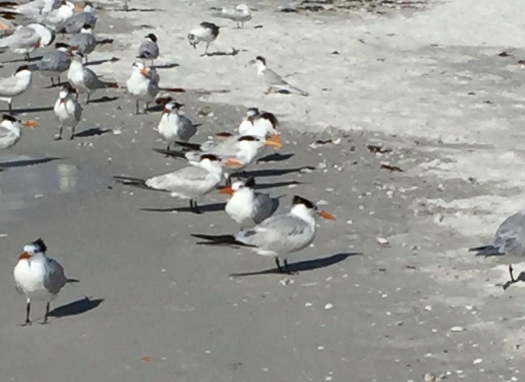 Royal Tern birds; Suncoast birds; Pass-a-Grille; St. Pete Beach; Florida
