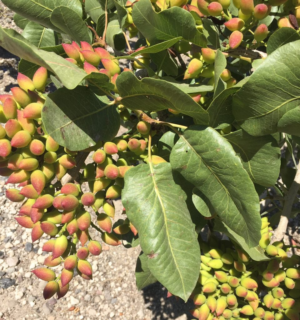 Pistachios; Santorini Wine Trails Foodie Tour; boomer travel; travel; Greece