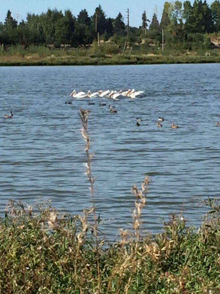 Fernhill Wetlands; The Tualatin Valley; birdwatching; Oregon; boomer travel