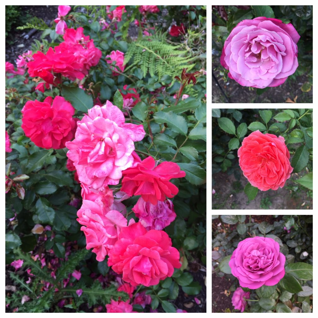 International Rose Test Garden; roses;PSU Farmers Market; Portland Farmers Markets; Portland; pdx; Travel Portland; #YouCanInPortland; Oregon
