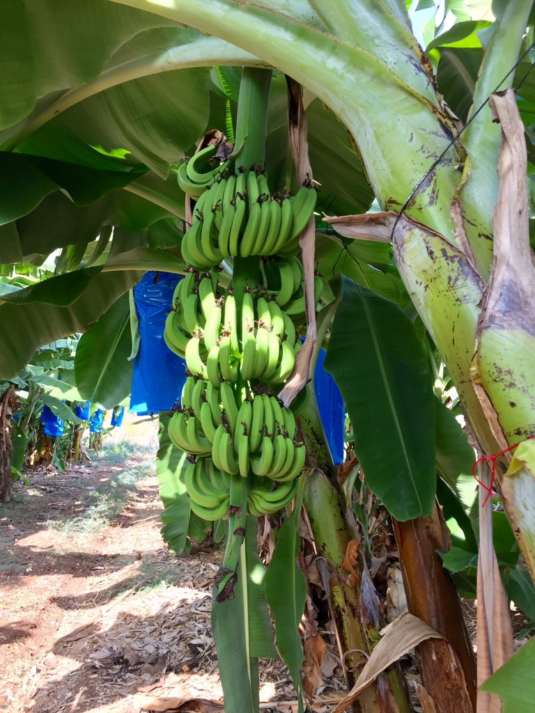 Banana trees; Rosh Hanikra Kibbutz; Haifa; Israel; Viking Ocean Cruises
