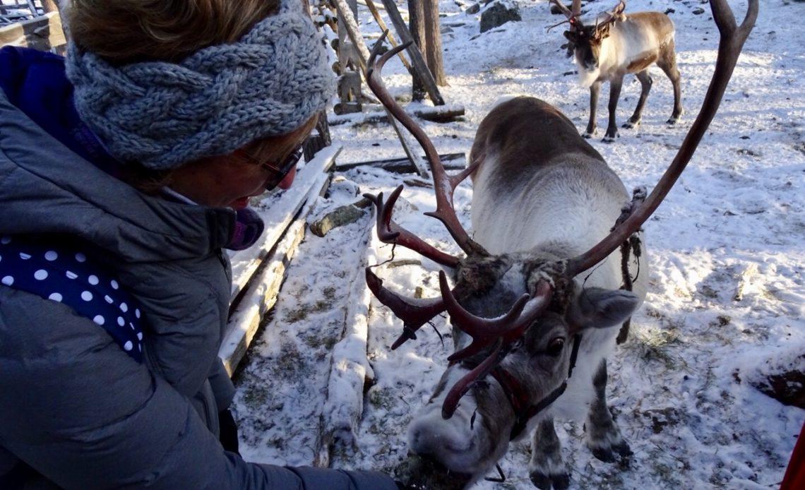 Santa's reindeer; reindeer in Lapland; reindeer