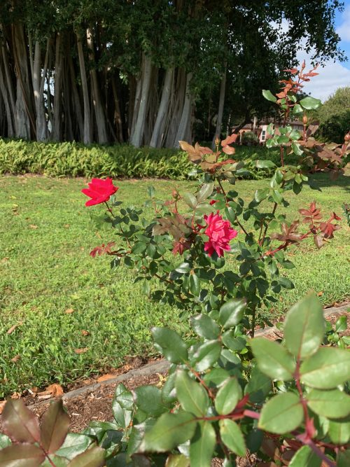 The Mable Ringling Rose Garden in Sarasota