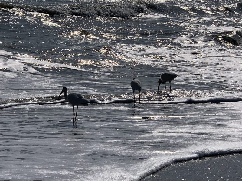 Birds on shore in Sanibel Island