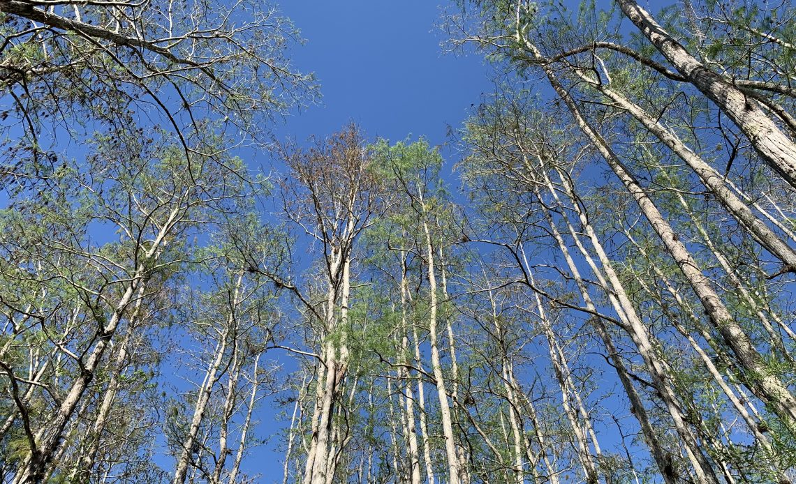 trees at Corkscrew Swamp Sanctuary