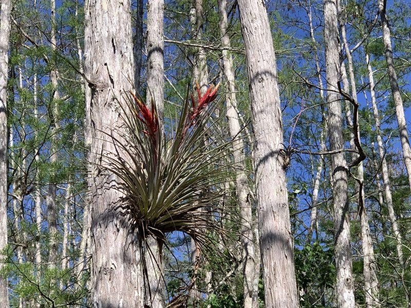 Bromeliad in tree