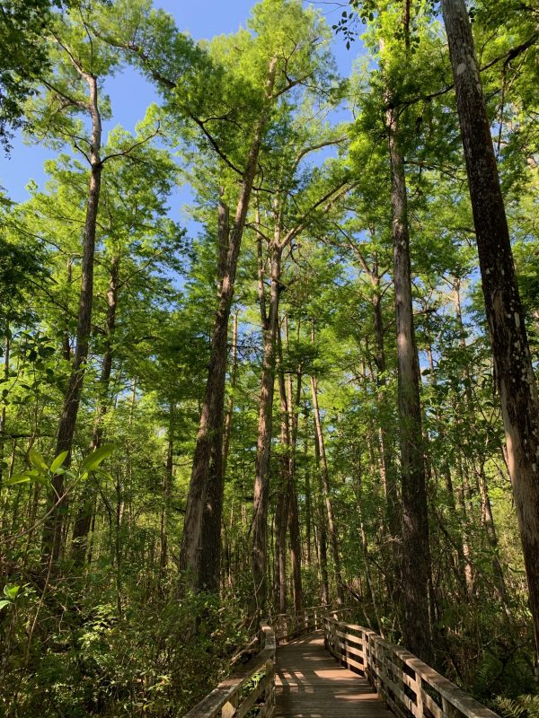 Old-growth cypress trees in Corkscrew Swamp Sanctuary