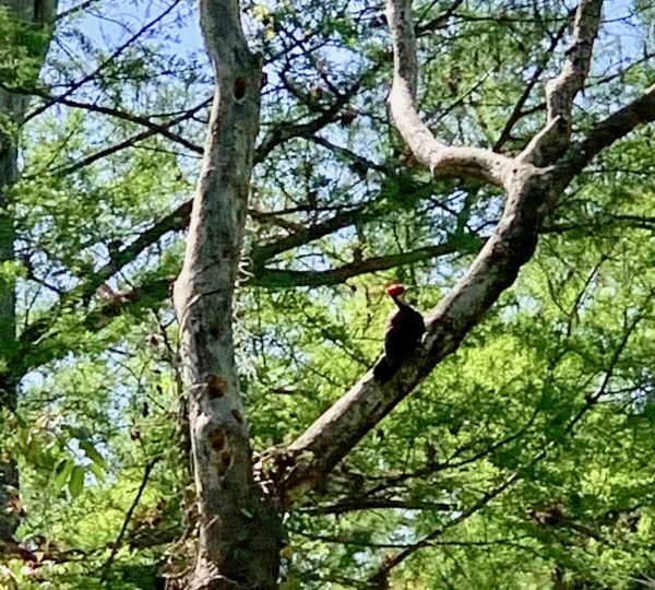 Pileated Woodpecker in a tree