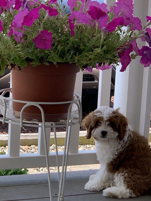 Ollie cavapoo puppy